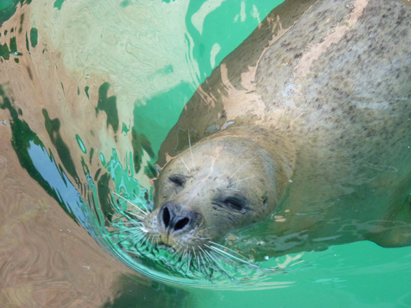 seal swimming Tamar Jjaeger