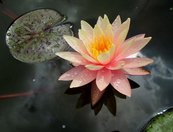 waterlily Tamara Jaeger